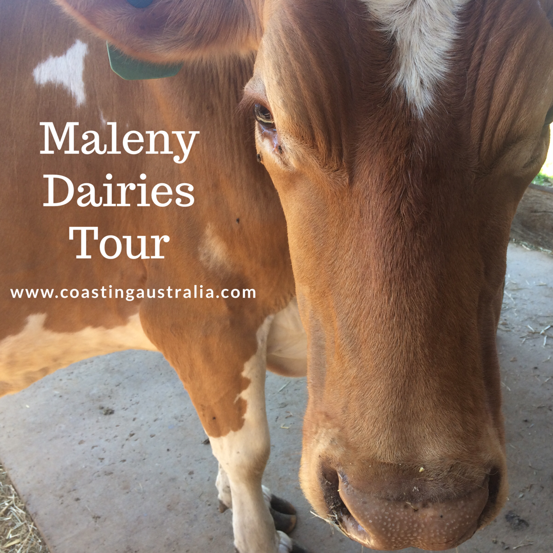 Maleny Dairies Tour – Sunshine Coast